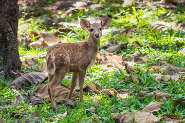 Young Hog deer(Hyelaphus porcinus) stair at us