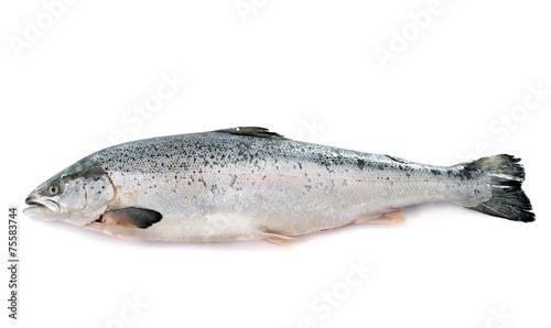 salmon fish - 75583744