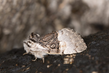 Nut-tree Tussock, Colocasia coryli on birch wood