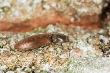 Athous subfuscus, Elateridae on wood