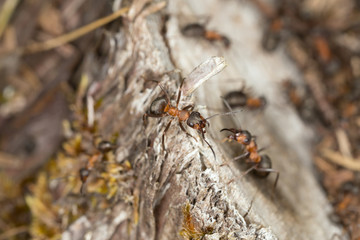 Formica ants on stub on dry environment, Alvaret, Sweden
