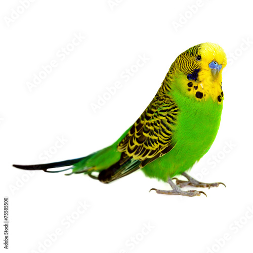 Aluminium Vogel portrait of budgerigar