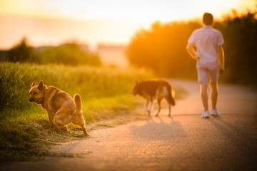 Man walking his two dogs in evening sunlight