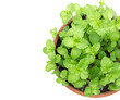 Top view of fresh kitchen mint plant in pot