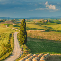 Cypress on the road in the middle of the Tuscan countryside on a