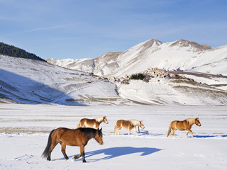 ponies in  snowy plateau of Castelluccio of Norcia, Umbria, It