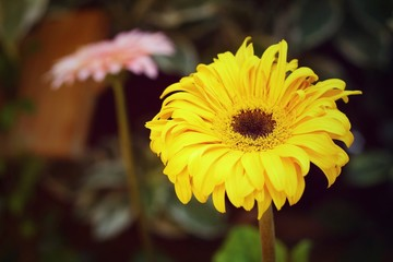 Yellow Gerbera flowers.