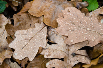 Wet autumn leaves with drop of dew