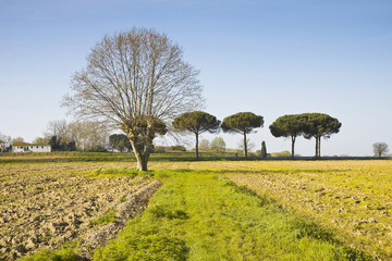 Isolated plane tree in a plowed field - (Tuscany countryside)