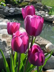 Сиреневые тюльпаны на фоне декоративного прудика.