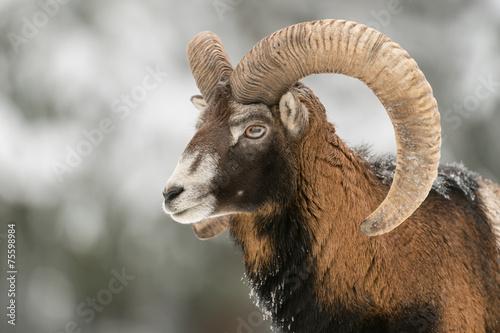 Foto op Aluminium Schapen Mufflon, Mouflon, Ovis orientalis