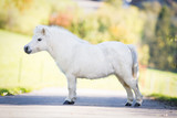 Cute white Shetland pony standing on the road, conformation. poster