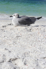 Seagull Resting on Florida Beach by Ocean with Copy-space
