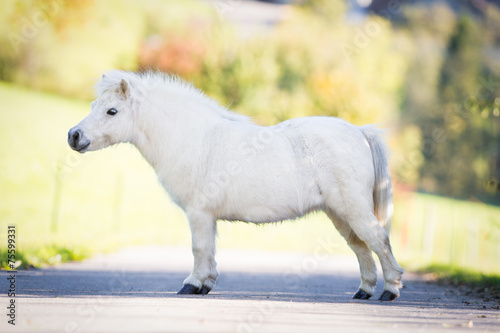 poster of Cute white Shetland pony standing on the road, conformation.