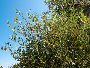 olive tree branches with leaves and olives