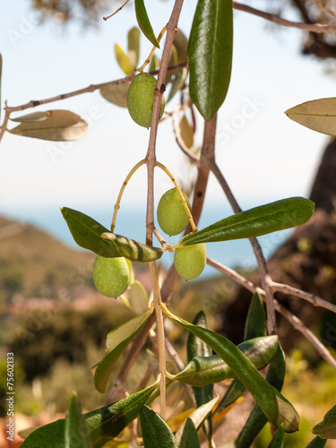 Tuinposter Olijfboom closeup of olives and leaves on a olive tree