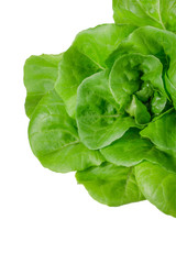 Fresh wet green butterhead salad isolated on white background