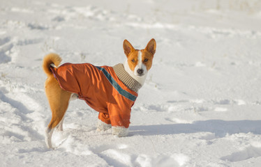 Cute basenji dog in fresh snow