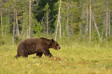 Bear walking in the swamp