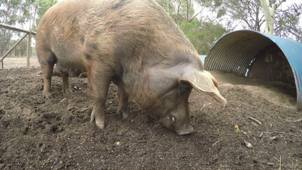 Close-up video of a pig feeding in a farm