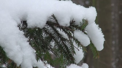 Snow-covered fir tree branch in the snow