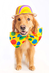 Dog Clown Jester