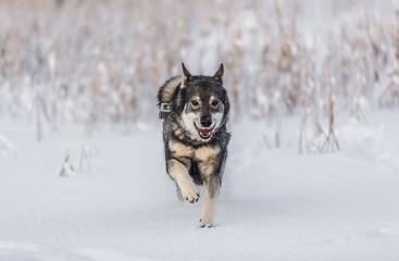 Swedish Elkhound in winter landscape