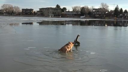 Dog Turning Back Stick From Thin Ice