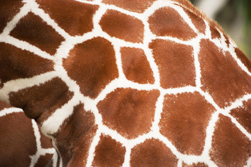 Giraffe close up texture spots