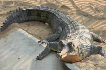 Breeding gharial. Chitwan-Nepal. 0921