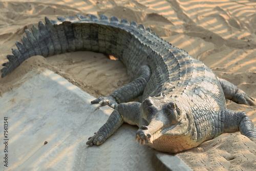 Spoed canvasdoek 2cm dik Krokodil Breeding gharial. Chitwan-Nepal. 0921