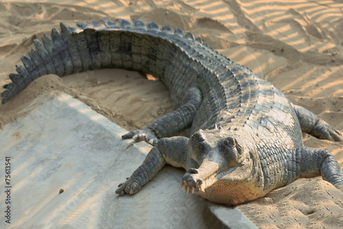 Keuken foto achterwand Krokodil Breeding gharial. Chitwan-Nepal. 0921