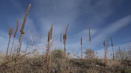 Tall Western Weeds In Windy Sun