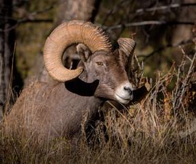 Big Horn Ram portrait