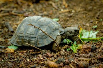 turtle in san cristobal galapagos islands