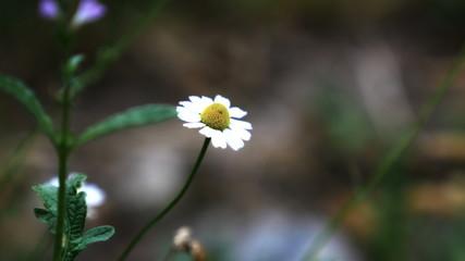 macro chamomile on field 4k