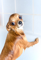 funny wet chihuahua dog standing in bath