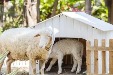 White Sheep in farm