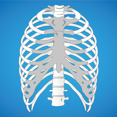 Illustration anatomy rib cage