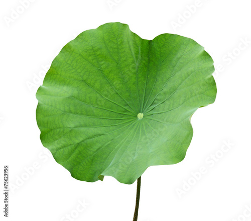 Foto op Canvas Lotusbloem Lotus Leaf