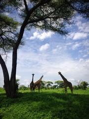 girafe sous l'arbre