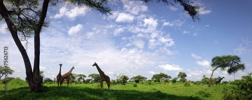 panorama girafe