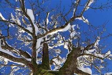 Baumkrone mit Schnee