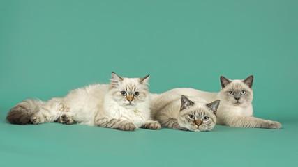 Katzen-Britisch-Kurzhaar-27042P