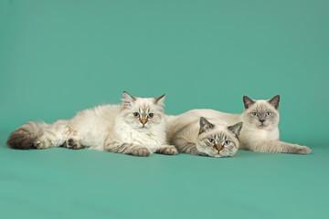 Katzen-Britisch-Kurzhaar-27042