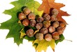acorns and leaves of red oak tree