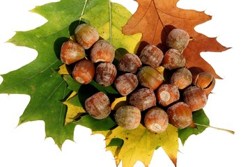 acorns and leaves of red oak tree
