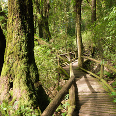 Moss and wooden footpath at the evergreen forest