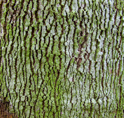 Texture of rubber tree with crack of bark, moss and lichen.