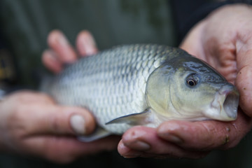 A man holding a young carp fish, his fishing catch, in his hands.